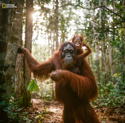 'Orangutan mother and baby' by Jak Wonderly