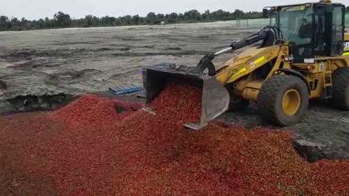 One WA farm has dumped an estimated 20,000kg of strawberries.
