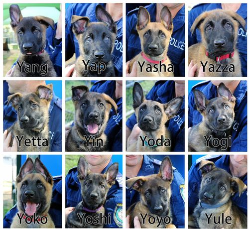 """The 11-week-old puppies all have named starting with """"Y"""". (9NEWS)"""