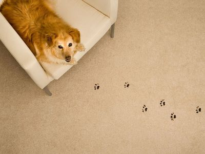 Stain solution for dirty paws and accidents