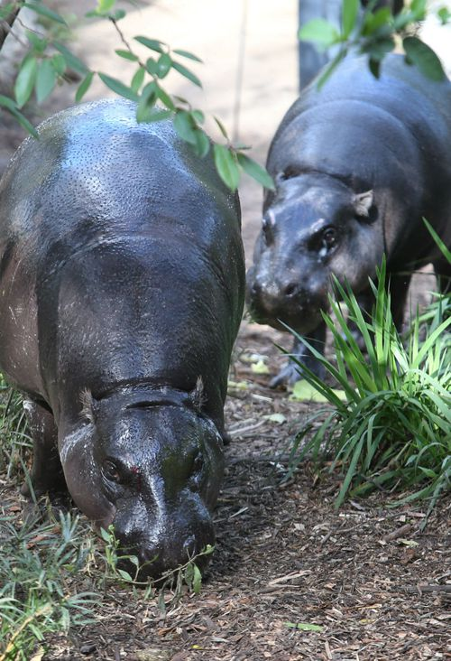 Melbourne Zoo hopes their pygmy hippos will mate and produce their first baby since 1981. (AAP)