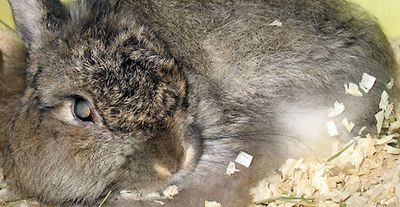 The world's longest-lived rabbit a Jersey Wooley named Do,died in January 2013 in New Jersey at the grand old age of 17. Its successor is yet to be determined.. (Guinness World Records/http://bit.ly/1ex85B4)