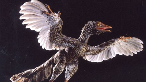 A model of an Archaeoraptor lianoningensis - believed to be the first flying dinosaur.