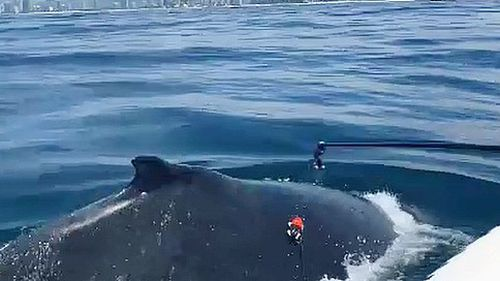 Deployment of the tracker is said to be even easier on the animal as well, with four suction cups being used to maintain its position.