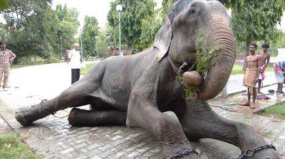 Winner - Raju the elephant