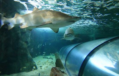 Grey nurse sharks in the tank at Shark Dive Xtreme