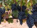 Hunter Valley vineyards struggle in fourth consecutive year of drought