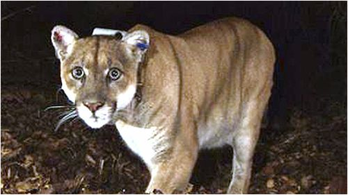 Mountain lions destroyed after eight-year-old attacked