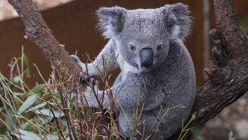More 350 koalas expected to have died in NSW bush fire near breeding ground in Crestwood.