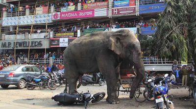 The elephant stands still after being tranquilised. (AP)