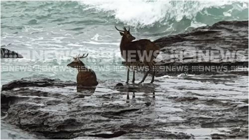 Two deer are stuck on a beach in North Wollongong after being startled on a nearby dog beach this morning.