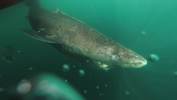A Greenland shark swims away from a boat, returning to the deep and cold waters of the Uummannaq Fjord in northwestern Greenland during tag -and- release program.