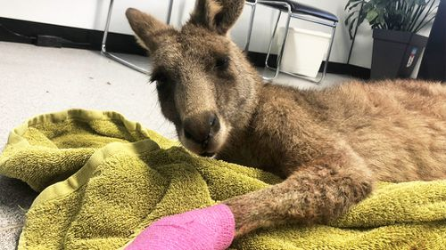 A Melbourne resident has recalled locking a kangaroo in his toilet after it broke into his house over the weekend. Picture: 9NEWS