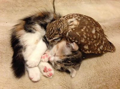 The photos show the kitten and owlet nuzzling one another as well as cuddled up and napping together. (Twitter/Hukulou Coffee)