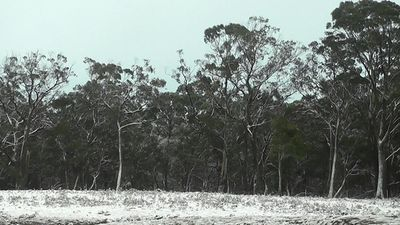 Snow covers trees at Wombeyan Caves in NSW. (9NEWS)