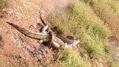 In the epic battle between a snake and a crocodile earlier this year, there would be only one winner (Supplied).