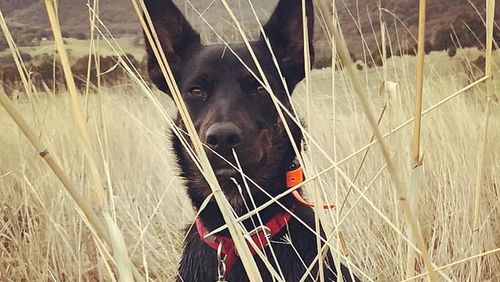 Ezra the kelpie was stabbed to death in a supposed random attack in the front yard of a Glen Creek home on the Victorian, NSW border.