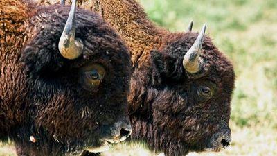 England's Steppe bison