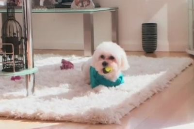 The couple's pooch Juddy (yep – named after Carlton AFL captain Chris Judd) is in a spot of trouble. A neighbour in the couple's apartment block claims the Maltese/Shih Tzu cross bit her – which is denied by Edelsten's manager John Scott.