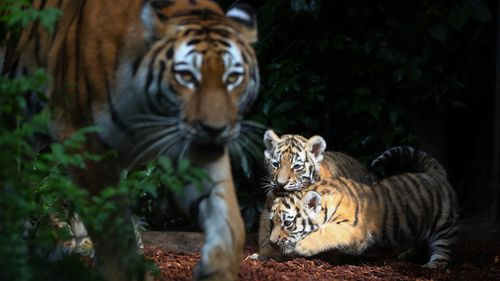 Female Siberian tiger 'Maruschka' and two of her babies explore the enclosure in the zoo 'Hagenbeck' in Hamburg/ (AP)