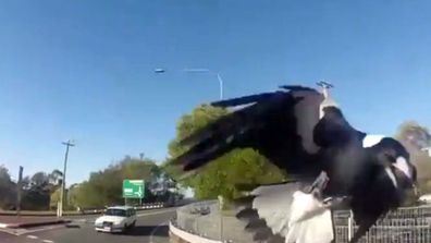 A Queensland cyclist has captured footage of a magpie attack.