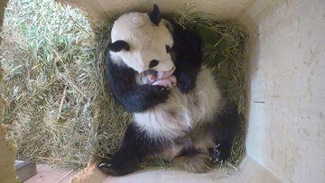Panda Yang Yang and her twin cubs. (www.zoovienna.at)