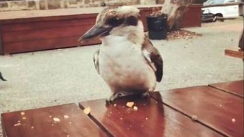 Kookaburra killing in Perth.