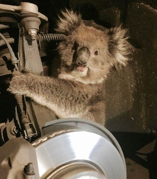 The traumatised koala managed to escape with only minor injuries. (Supplied)