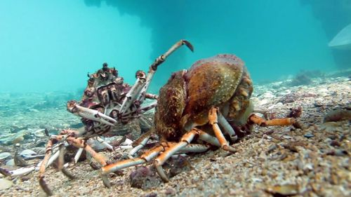 Spider crab moults from shell only to be devoured by massive stingray