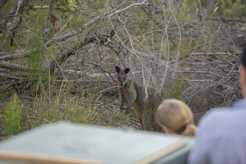 Ku-ring-gai Chase National Park is home to many swamp wallabies like Syd. (Taronga Wildlife Hospital)