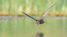 """Thirsty"". Category: Birds in Flight. Gold award winner."