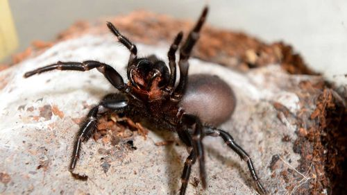 The funnel web spider is one of Australia's deadliest animals.