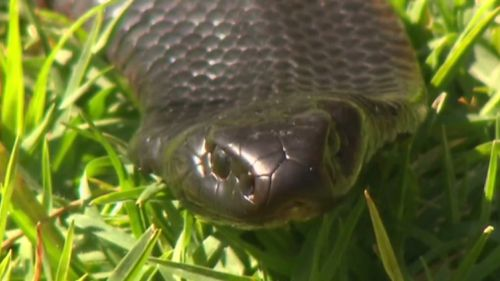 The brown snake is the most commonly identified species in snake attacks. (9NEWS)