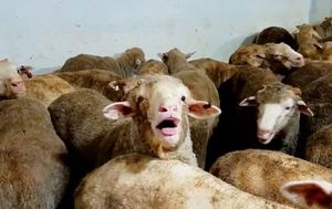 Department of Agriculture suspends Emanuel's live export licence