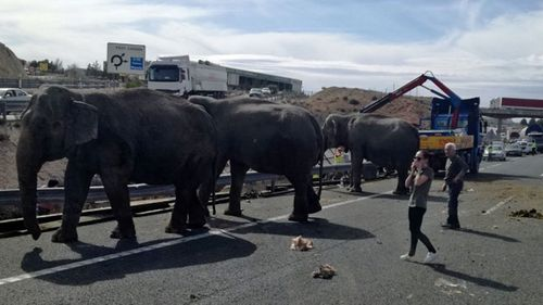 The elephants roam the Spanish motorway after the truck carrying them crashed. (Twitter).