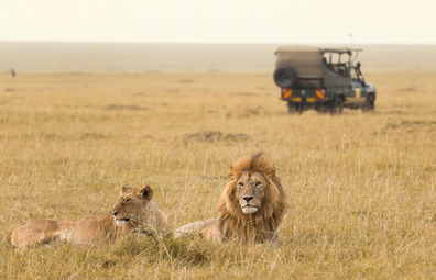 Lions in the forground on Kenyan safari