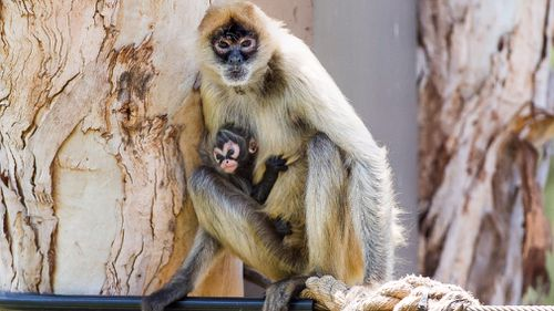The baby black-handed spider monkey was born on October 9. (Supplied Rick Stevens)