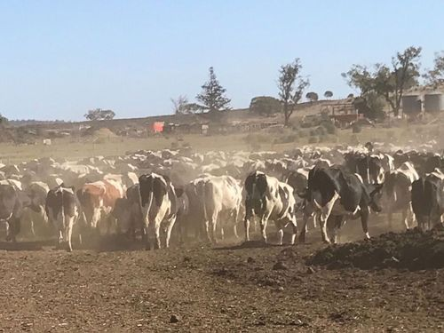 Ashley Gamble, 33, and Wendy Ellis, 31, have already borrowed huge amounts of cash from the bank as they struggle to keep their 1500 dairy cows alive on their property, near Oakey in the Darling Downs area of Queensland, 160km west of Brisbane.