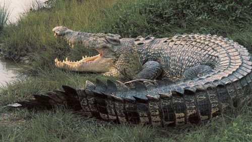 Mr Wood said a crocodile harvest could be good for NT economic development and employment of traditional land owners. Picture: Getty.