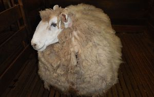 Sheep found carrying four years worth of wool gets a life-saving haircut