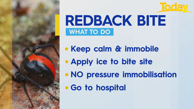 How to treat a redback bite.