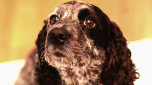 When renowned British author Tom Rubython's cocker spaniel Daisy passed away in 2014, cost was no object to clone his beloved dog.