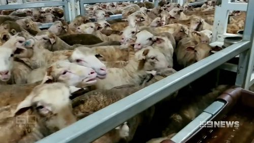 A national review was launched after horrifying vision emerged of sheep dying on-board a ship from WA to the Middle East in 2016. (60 Minutes)