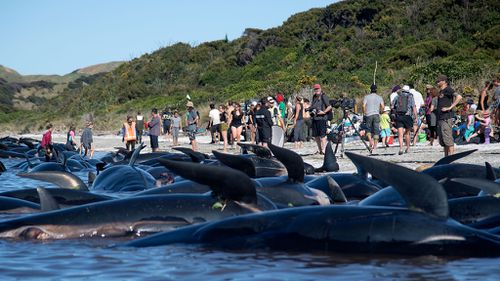 A new pod of whales has become beached in New Zealand, just hours after a mass stranding. (AFP)