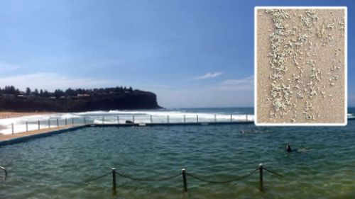 Maggot invasion forces Sydney rock pool to close
