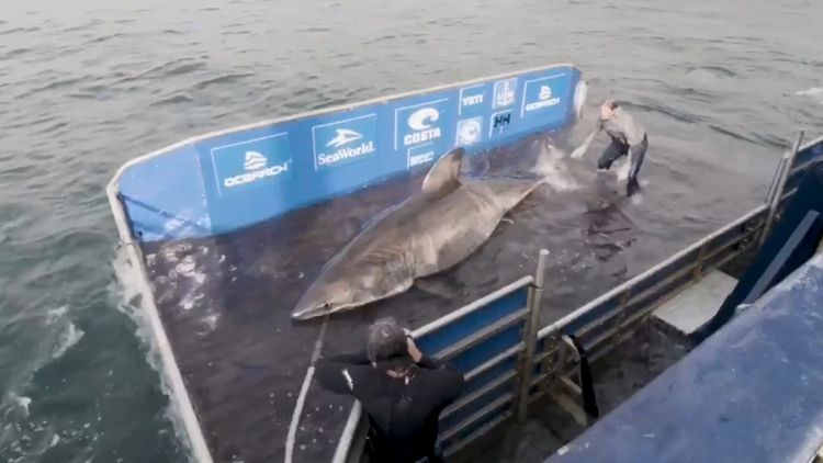 Massive 17-Foot White Shark Dubbed