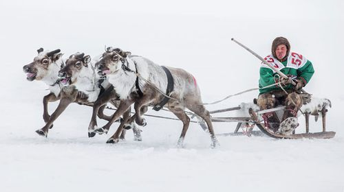 Thawing reindeer carcasses trapped in ice unleash anthrax in Siberia