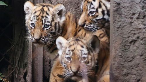 Three Siberian Tiger cubs explore the enclosure in the zoo 'Hagenbeck' in Hamburg, Germany, Thursday, August 3, 3017. (AP)