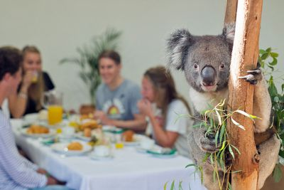 <strong>Have breakfast with a koala</strong>