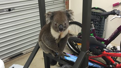 The koala only got minor scratches and will be returned to his home soon. (Lauren Davis)
